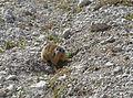 Marmota te Ncisles.jpg