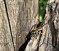 May wasp.jpg