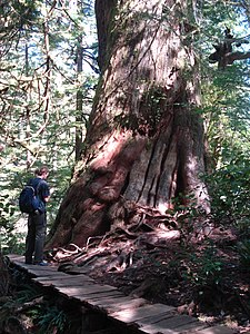 Riesen-Lebensbaum (Western Red Cedar) am Big Cedar Trail