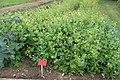 Medicinal Plant Gardens Weleda Schwaebisch Gmuend Chelidonium majus.jpg