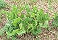 Meerrettich Armoracia rusticana 9087.jpg