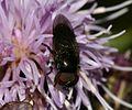 Melanogaster sp. (male) - Flickr - S. Rae (4).jpg