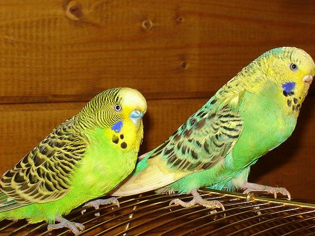 Papagájce vlnkované - andulky