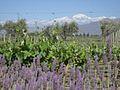 Mendoza vineyard landscape.jpg