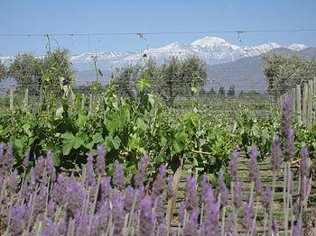 Mendoza vineyard landscape