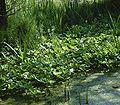 Menyanthes trifoliata6 ies.jpg