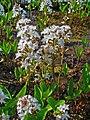 Menyanthes trifoliata 001.JPG