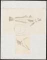 Merluccius vulgaris - 1700-1880 - Print - Iconographia Zoologica - Special Collections University of Amsterdam - UBA01 IZ14000109.tif