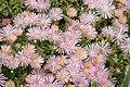 """Mesa Verde Iceplant (Delosperma) """"Kelaidis"""" - United States National Arboretum.jpg"""