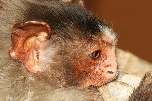 Rondon's marmoset - Image: Mico nigriceps