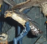 Microhierax fringillarius Museum de Genève.JPG
