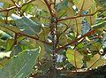 Migrant Hawker in tree.JPG