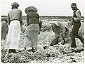 Migratory laborers cutting celery, Belle Glade, Florida, Jan... (3110574764).jpg