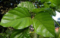 Milletia pinnata leaves at Shilparamam jaatara.JPG