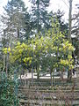 Mimosa fleurs Thabor Rennes (2).JPG