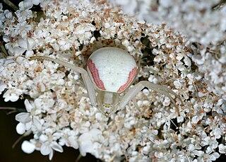 Kvetárik dvojtvarý (Misumena vatia) - samička