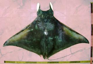 Bentfin devil ray species of fish