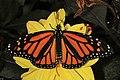 Monarch - Danaus plexippus, Herndon, Virginia (37074491261).jpg