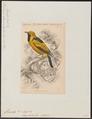 Monarcha chrysomela - 1838 - Print - Iconographia Zoologica - Special Collections University of Amsterdam - UBA01 IZ16500181.tif