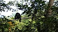Mono aullador negro - panoramio (1).jpg