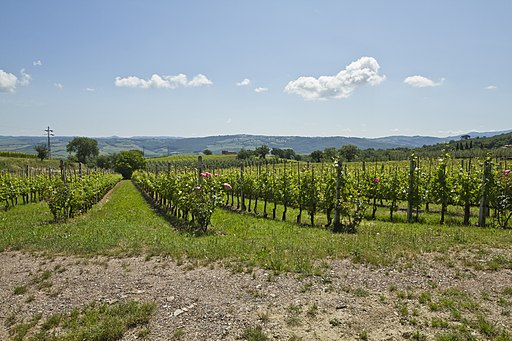 Montalcino vineyard - panoramio