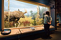 Moose - Royal Alberta Museum (23496710431).jpg