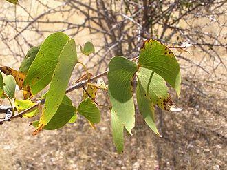 Angolan mopane woodlands - The mopane tree
