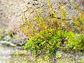 Moss in wall (8468851830).jpg