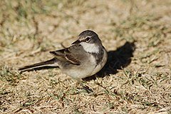 Motacilla capensis -Fish River Canyon, Namibia-8.jpg