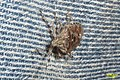 Mottled shieldbug (NH266) (27770719634).jpg