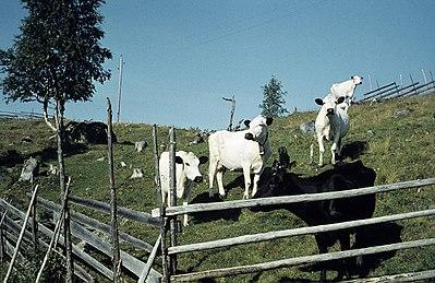 Fjällkor var vanliga på de små gårdarna förr