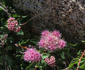 Mountain spiraea Spiraea densiflora flowers buds close.jpg