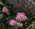 Mountain spiraea Spiraea densiflora flowers buds close.jpg