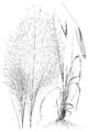 Muhlenbergia capillaris HC-1950.png