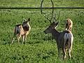 Mule Deer, Washoe Valley, Nevada (21332001932).jpg