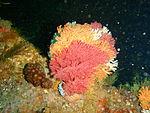 Multicoloured sea fans on the wreck of MFV Princess Elizabeth P3167268.JPG