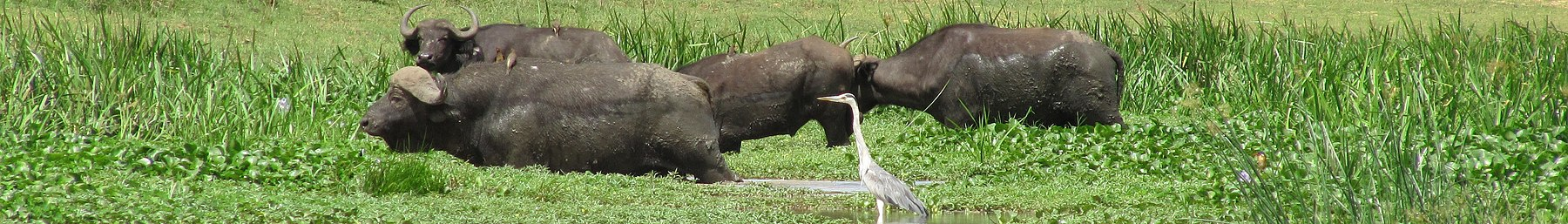Murchison Falls National Park banner Animals near Nile.JPG
