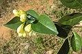 Murraya paniculata 11.JPG