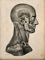 Muscles of the head and neck; an écorché seen in profile. Li Wellcome V0008436.jpg