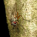Muscoid Fly (31791855015).jpg