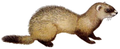 Mustela eversmanii (white background).png