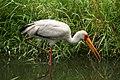 Mycteria ibis (6337869240).jpg