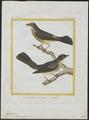 Myiobius barbatus - 1700-1880 - Print - Iconographia Zoologica - Special Collections University of Amsterdam - UBA01 IZ16500329.tif