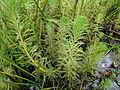 Myriophyllum aquaticum habit1 (14648412484).jpg
