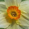 Narcis (Narcissus) d.j.b 02.jpg