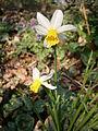 Narcissus Jack Snipe01.jpg