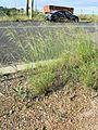 Nassella neesiana plant1 (7370845800).jpg