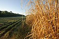 Native grass test plots. (25112415995).jpg