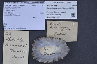<i>Cymbula adansonii</i> Species of gastropod