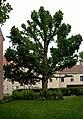 Naturdenkmal 503 Baumhasel.JPG